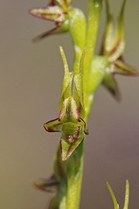 Laughing Leek Orchid