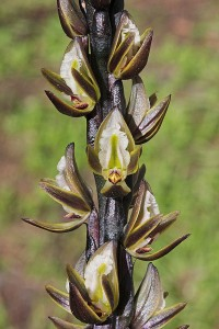 Inland Leek Orchid