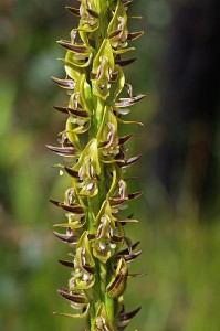 King Leek Orchid