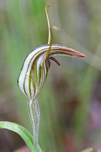 Narrow Hooded Shell Orchid