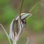 Brown-veined Shell Orchid
