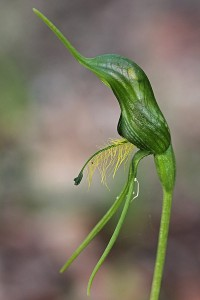 Bearded Bird Orchid