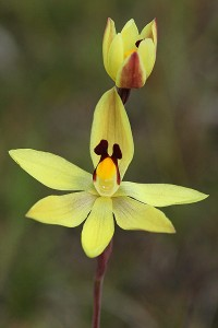Lemon Scented Sun Orchid