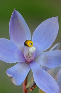 Scented Sun Orchid