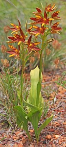 Crystal Brook Star Orchid