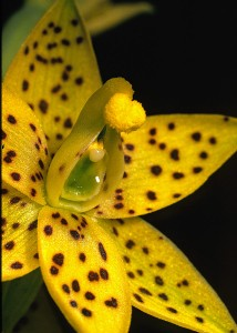 Freckled Sun Orchid