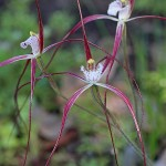 Clumped Spider Orchid