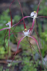 Ruby-red Spider Orchid