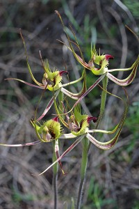Fringed Mantis Orchid