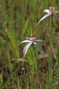 Tangled White Spider Orchid