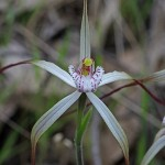 Noble Spider Orchid