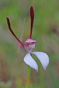 Rabbit Orchid