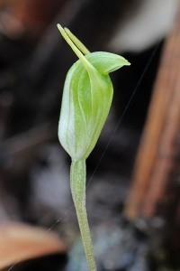 Short-eared Snail Orchid