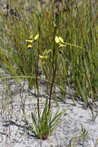 Bristly Donkey Orchid