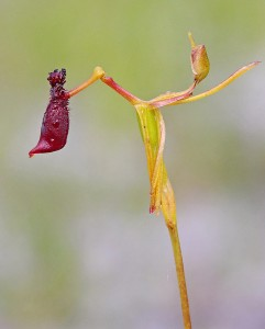 Narrow-lipped Hammer Orchid