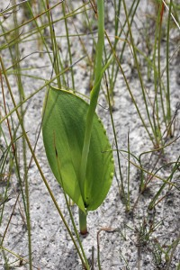 Leopard Orchid leaf