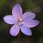 Lilac Sun Orchid
