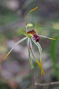 Club-lipped Spider Orchid