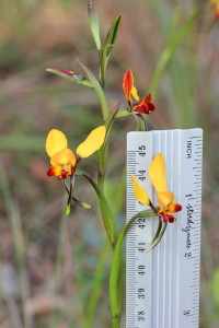 Diuris brumalis Pickering Brook - 4 Jul 2014