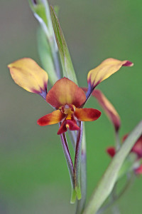 Diuris sp. woody