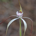 Pendant Spider Orchid