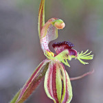 Crab-lipped Spider Orchid