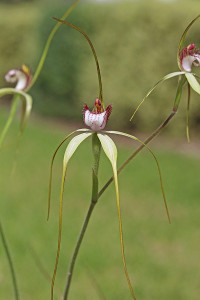 Island Point Spider Orchid