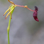 Lonely Hammer Orchid