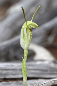 Snail Orchid