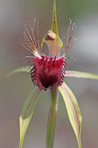 Grand Spider Orchid