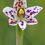 Swamp Sun Orchid