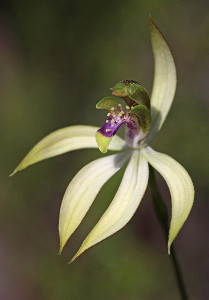 Leafless Orchid