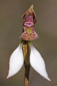 Swamp Bunny Orchid