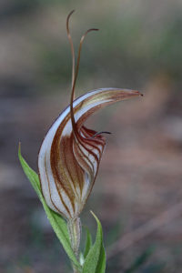 Red-veined Shell Orchid