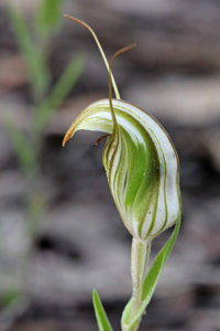 Green-veined Shell Orchid