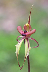 Puppet Orchid