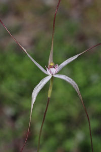 Outback Spider Orchid