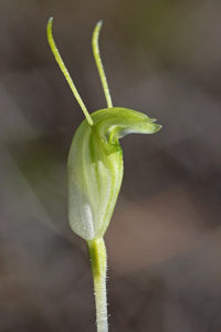 Hairy Stemmed Snail Orchid