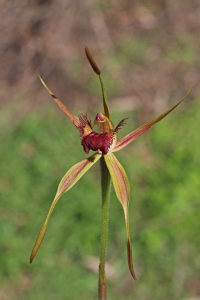 Esperance King Spider Orchid