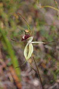 Grass-leafed Spider Orchid