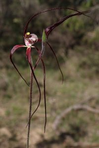 Chapman's Spider Orchid